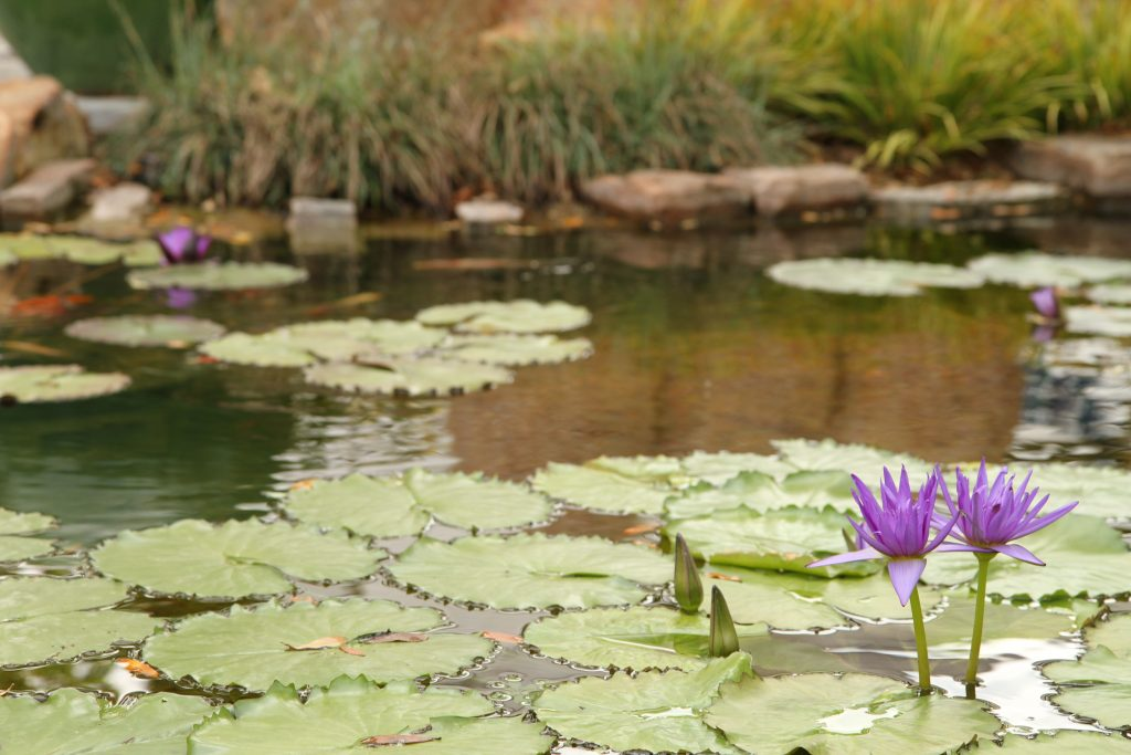 Pond with lily pads and purple lily flowers