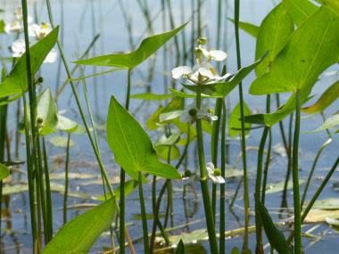 Arrowhead aquatic plant