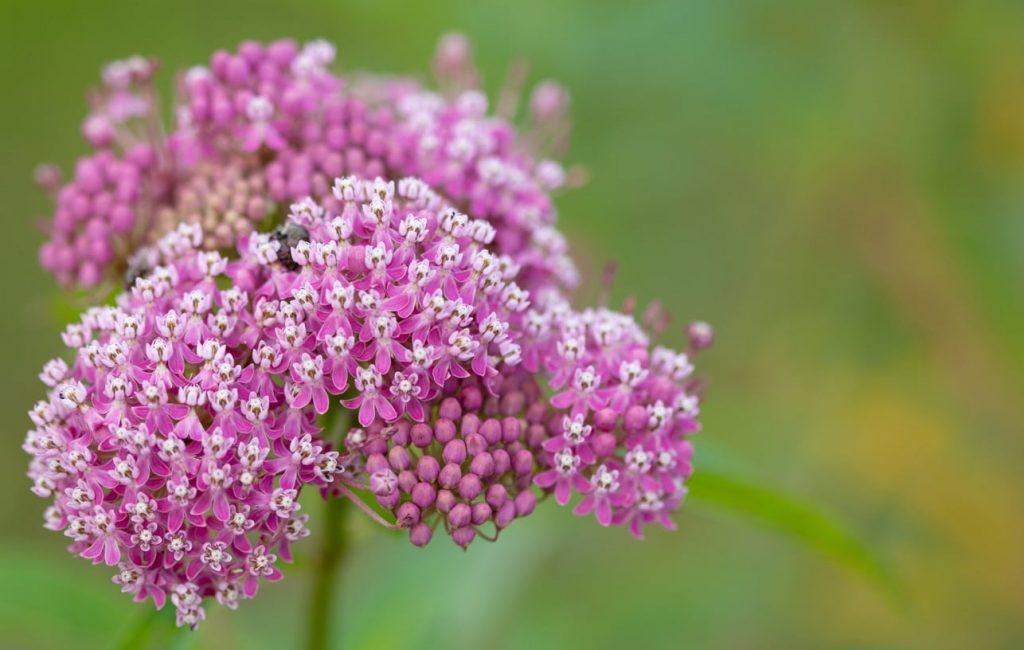 Marsh Milkweed flowers