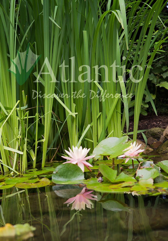 Galleries pond atlantic water gardens for Local pond stores